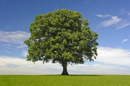 solitary tree: single tree at spring