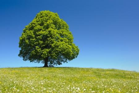 singolo albero a primavera