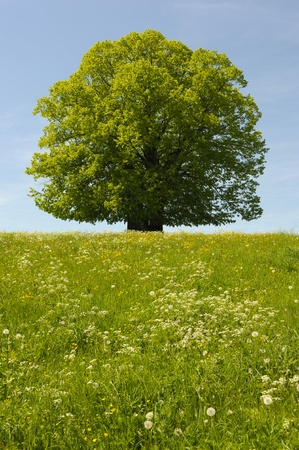 single tree at spring photo