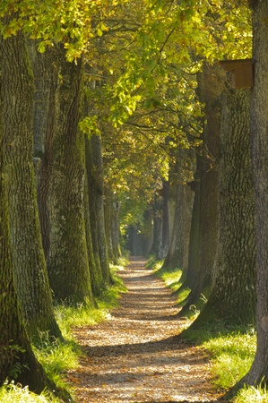 country road: tree alley in summer with footpath