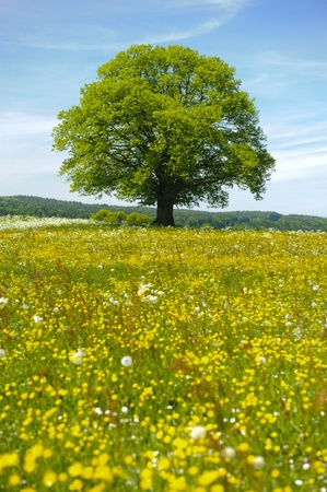 single linden tree at spring in meadow photo