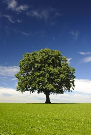 tilo: un solo árbol de tilo en primavera en el prado Foto de archivo