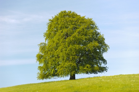 single linden tree at spring in meadow Stock Photo