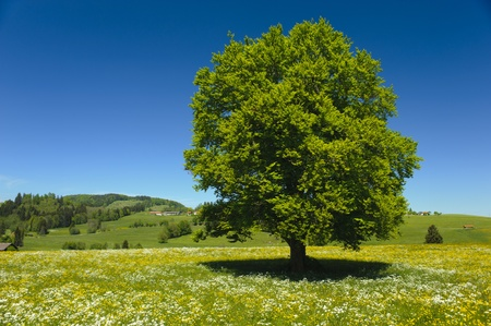 single leaf: single beech tree in meadow at spring