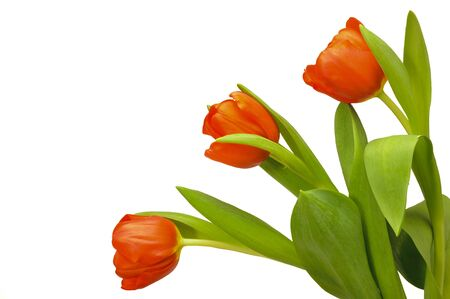 3 month: three isolated tulips over white background