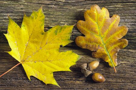 maple and oak leaf photo