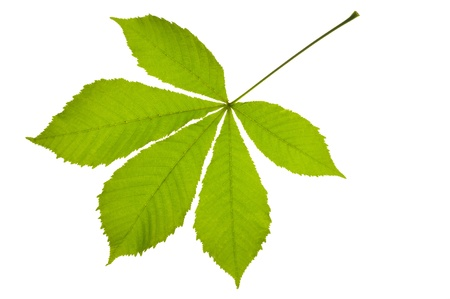 Green chestnut leaf isolated over white background