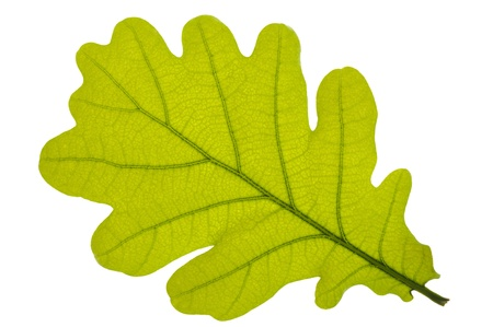 Green oak leaf isolated over white background