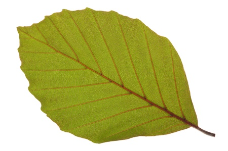 red beech leaf isolated over white background photo
