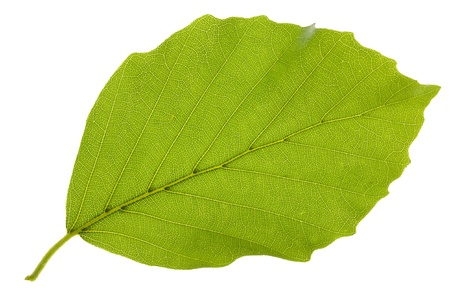 Green beech leaf isolated over white background