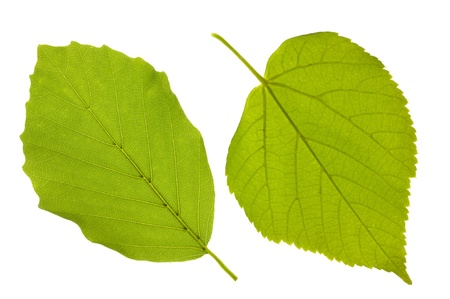 beech leaf and linden leaf isolated over white background photo
