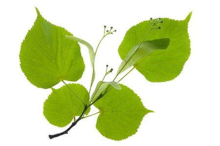 branch and linden leaf isolated over white background
