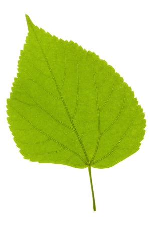 linden leaf isolated over white background