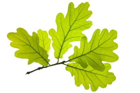 botanical branch:  Green oak leaf isolated over white background