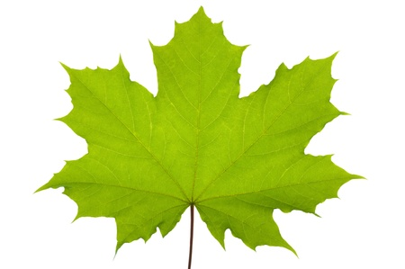 Green maple leaf isolated over white background