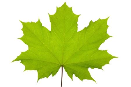 feuille arbre: Vert feuille d'�rable isol� sur fond blanc