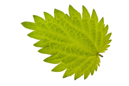 stinging nettle burn  isolated over white background photo