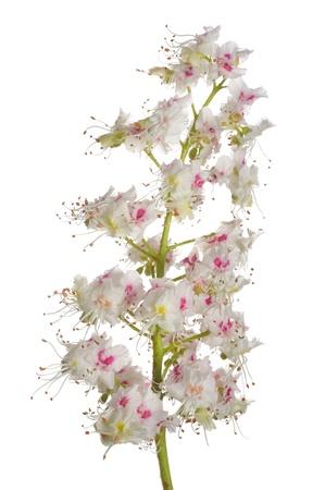 casta�as: casta�os flores aisladas sobre fondo blanco