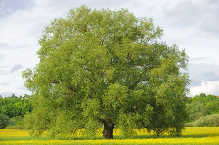 willows: big single willow tree in spring