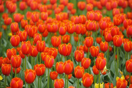 tulip flower in garden Stock Photo - 13867447