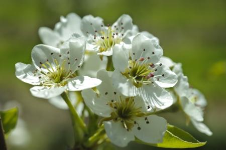apple tree with bloom photo