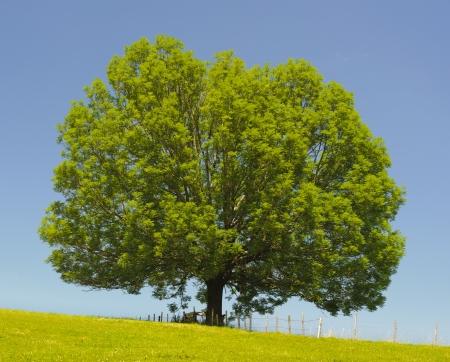 ashes: single ash tree Stock Photo