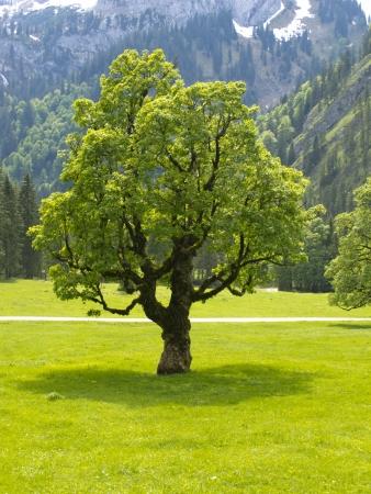 old tree: single maple tree