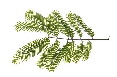 leaf of giant redwood tree photo