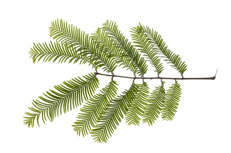 redwood: leaf of giant redwood tree