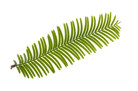 leaf of giant redwood tree