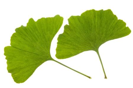 isolated leaf of ginkgo tree photo
