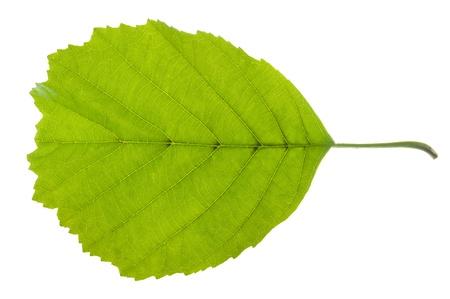 alder: isolated alder leaf