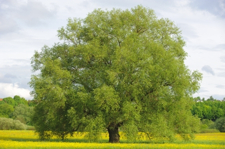 single big willow tree photo