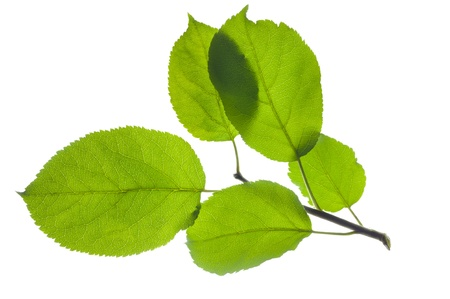 botanical branch: isolated leaves of apple tree Stock Photo