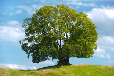 grote enkele beuk boom in de zomer Stockfoto
