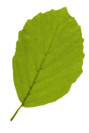 faggio foglia isolato su sfondo bianco Archivio Fotografico