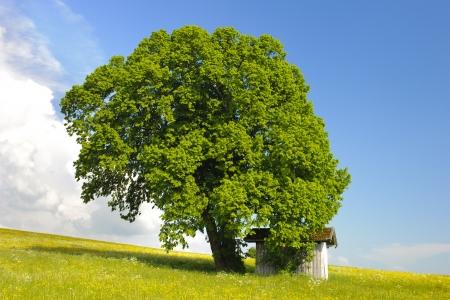 tilo: solo árbol de tilo en el prado Foto de archivo