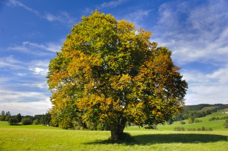 beech tree beech: single big beech tree in autumn Stock Photo