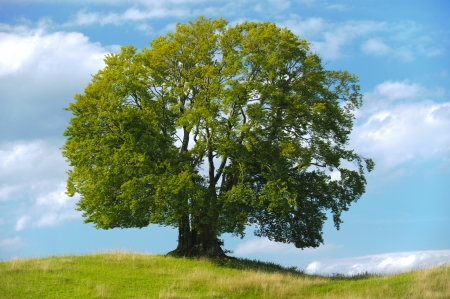 beech tree beech: single beech tree at summer Stock Photo