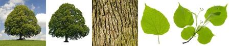 tilo: gran tilo �rbol con la corteza y las hojas Foto de archivo