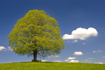 tilo: único gran árbol de tilo en primavera Foto de archivo