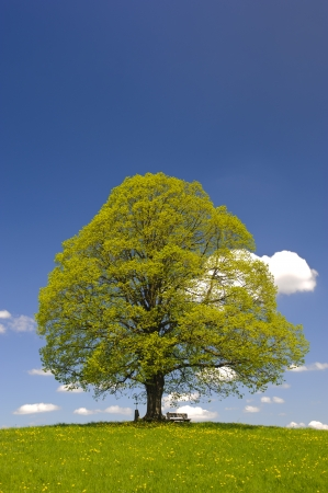 single big linden tree in spring
