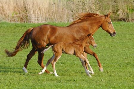 yegua: Mare caballo en galope con su potro