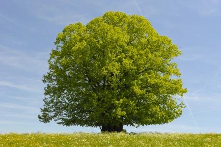 봄 시간에 하나의 너도밤 나무