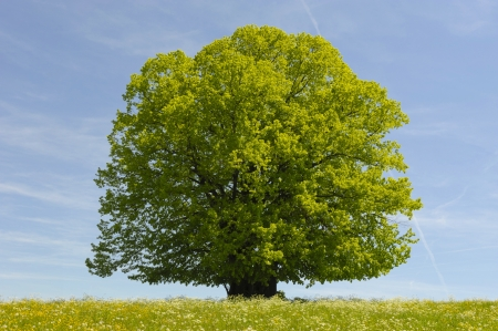 single beech tree in spring time photo