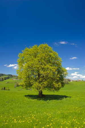 single big beech tree in spring photo