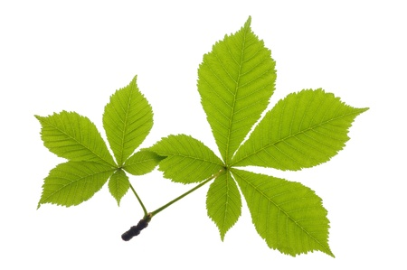 aesculus hippocastanum: chestnut leaf over isolated over white