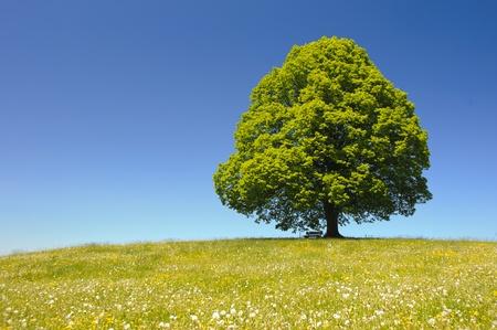 tilo: único gran árbol de tilo en una pradera en primavera