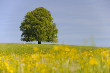 beech tree beech: single big beech tree in meadow at spring