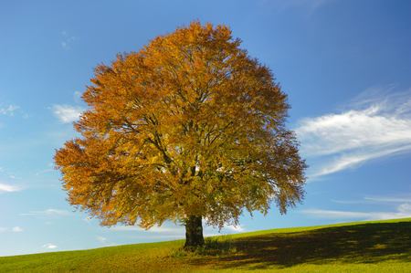 beech tree beech: single beech tree in meadow at autumn Stock Photo